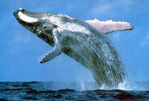 Hervey_Bay_Whales_and_Fraser_Island__Tour